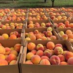 Georgia Peaches are coming to Tampa