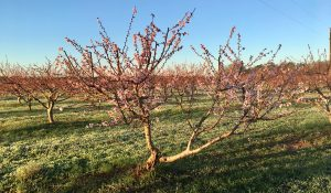 Georgia Peaches and How to Care for them for